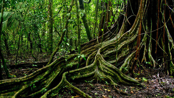 tree roots in Corcovado national park, Costa Rica.